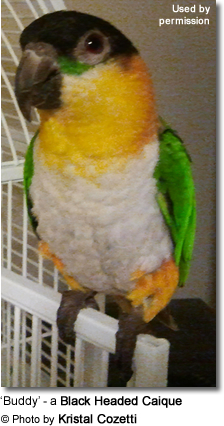 Blackheaded caique