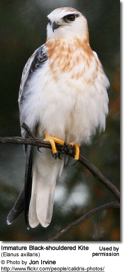 Black-shouldered Kite (Elanus axillaris) - Juvenile