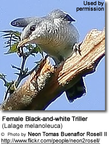 Female Black-and-white Triller (Lalage melanoleuca)