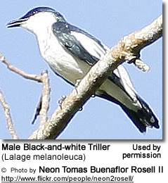 Male Black-and-white Triller (Lalage melanoleuca)