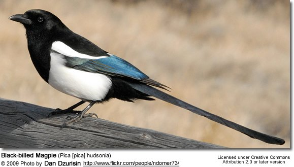 magpie information magpie species photo gallery