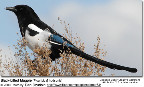 Black-billed Magpie (Pica [pica] hudsonia)