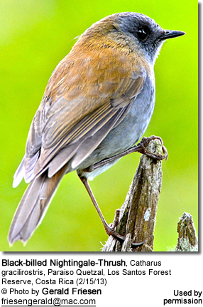 Black-billed Nightingale-Thrush, Catharus gracilirostris