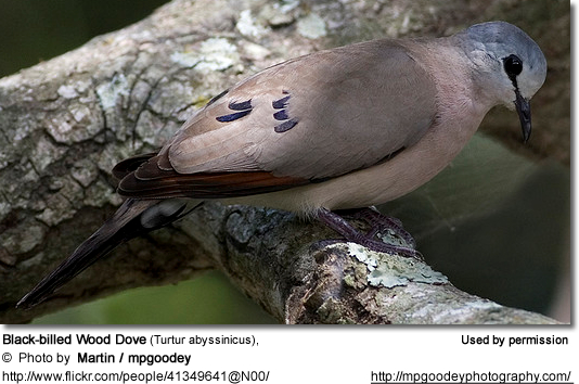 Black-billed Wood Dove (Turtur abyssinicus),