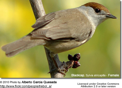 Blackcap, Sylvia atricapilla - Female
