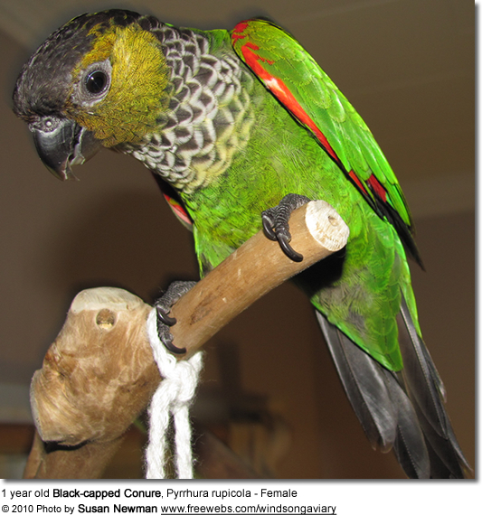 Black-capped Conure, Pyrrhura rupicola - Female