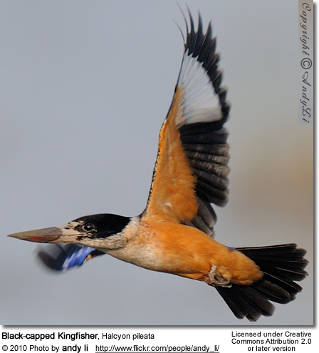 Black-capped Kingfisher, Halcyon pileata