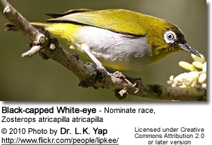 Black-capped White-eye - Nominate race, Zosterops atricapilla atricapilla