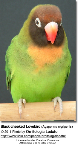 Black-cheeked Lovebird (Agapornis nigrigenis)