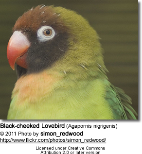 Black-cheeked Lovebird (Agapornis nigrigenis) - Head Detail