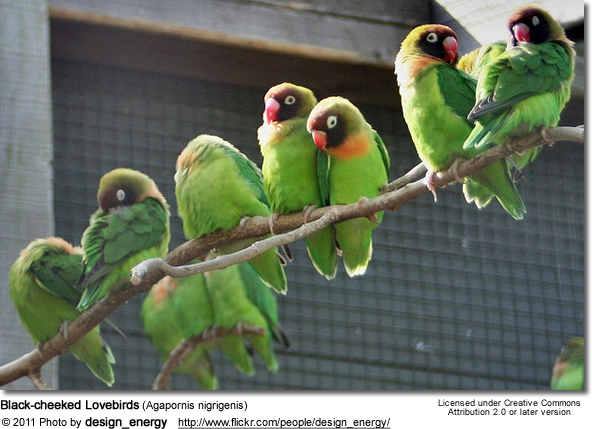 Black-cheeked Lovebirds (Agapornis nigrigenis)