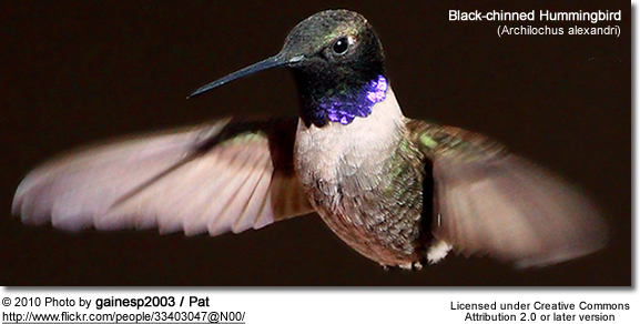 Black-chinned Hummingbird (Archilochus alexandri)