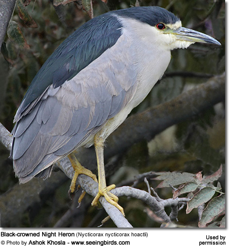 Black-crowned Night Heron (Nycticorax nycticorax hoactli)