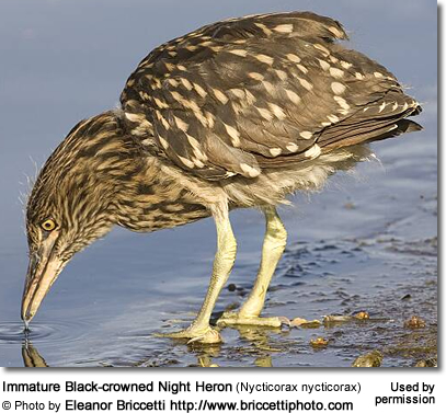 Immature Black-crowned Night Heron (Nycticorax nycticorax)