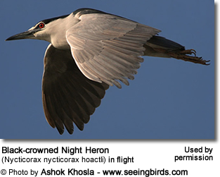 Black-crowned Night Heron (Nycticorax nycticorax hoactli) in flight