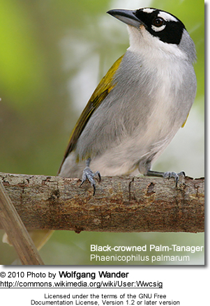 Black-crowned Palm-Tanager, Phaenicophilus palmarum