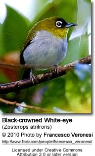 Black-crowned White-eye (Zosterops atrifrons)
