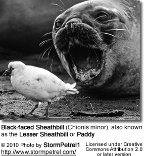 Black-faced Sheathbill (Chionis minor), also known as the Lesser Sheathbill or Paddy