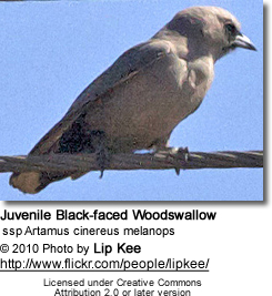Black-faced Woodswallow, Artamus cinereus