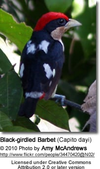 Black-girdled Barbet (Capito dayi)