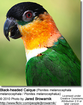 Black-headed Caique (Pionites melanocephala melanocephala / Pionites melanocephalus)