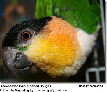 Black-headed Caique named Douglas