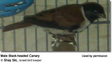 Black-headed Canary, Alario Alario