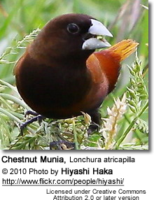 Black-headed Munia, Lonchura atricapilla