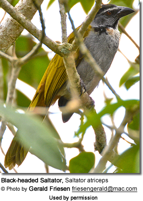 Black-headed Saltator, Saltator atriceps