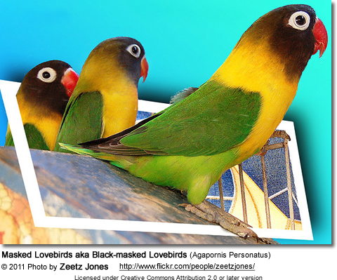 Black-masked Lovebird or Yellow-collared Lovebird, Agapornis personata