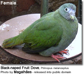 Black-naped Fruit Dove, Ptilinopus melanospilus