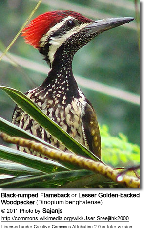 Black-rumped Flameback or Lesser Golden-backed Woodpecker (Dinopium benghalense)