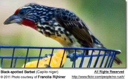 Black-spotted Barbet (Capito niger)