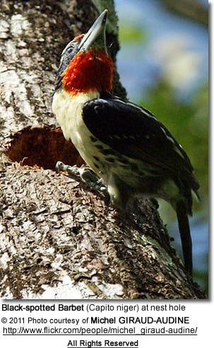 Black-spotted Barbet (Capito niger) at nest hole