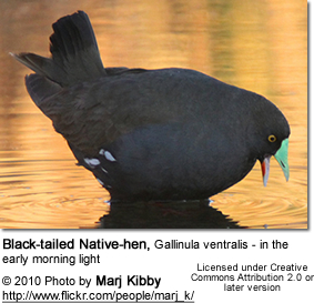 Black-tailed Native-hen, Gallinula ventralis - in the early morning light