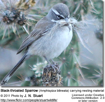 Black-throated Sparrow (Amphispiza bilineata) carrying nesting material