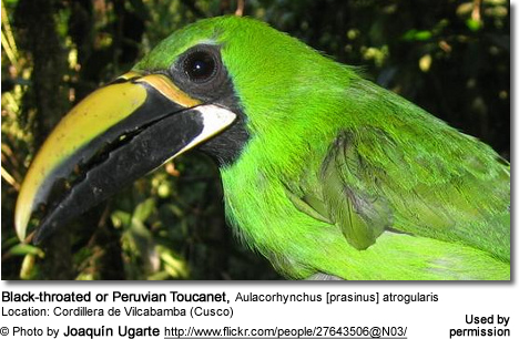 Black-throated or Peruvian Toucanet, Aulacorhynchus [prasinus] atrogularis