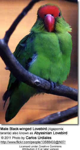 Black-winged Lovebird (Agapornis taranta) also known as Abyssinian Lovebird