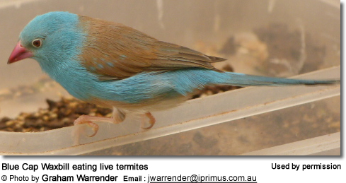 Blue Cap Waxbill eating live termites