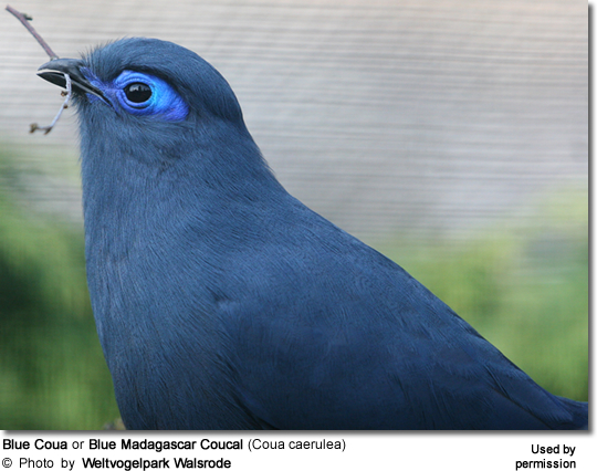 Blue Coua or Blue Madagascar Coucal (Coua caerulea)