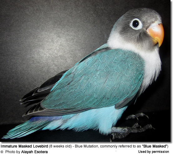 "Immature Masked Lovebird (8 weeks old) - Blue Mutatio, commonly referred to as ""Blue Masked"")"