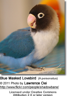 Blue Masked Lovebird (A personatus)