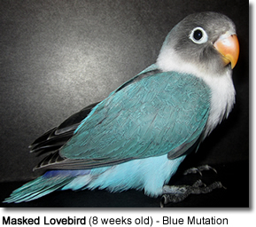 Masked Lovebird (8 weeks old) - Blue Mutation