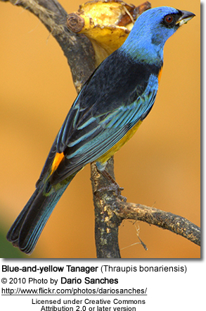 Blue-and-yellow Tanager (Thraupis bonariensis)