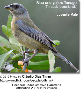 Blue-and-yellow Tanager (Thraupis bonariensis) - Juvenile Male