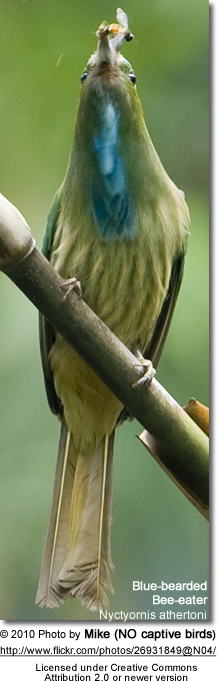 Blue-beareded Beeeater - eating a bee