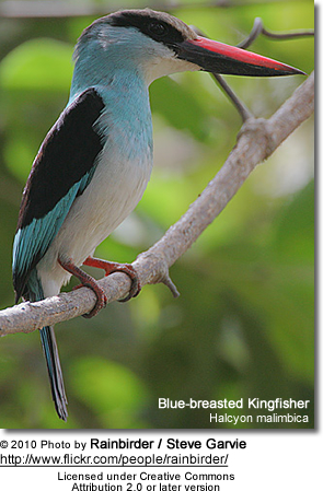 Blue-breasted Kingfisher, Halcyon malimbica