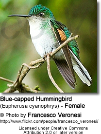 Blue-capped Hummingbird (Eupherusa cyanophrys) - Female