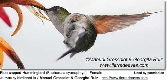 Blue-capped Hummingbirds (Eupherusa cyanophrys)