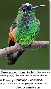 Blue-capped Hummingbird (Eupherusa cyanophrys) - Mexico, Sierra Madre del Sur